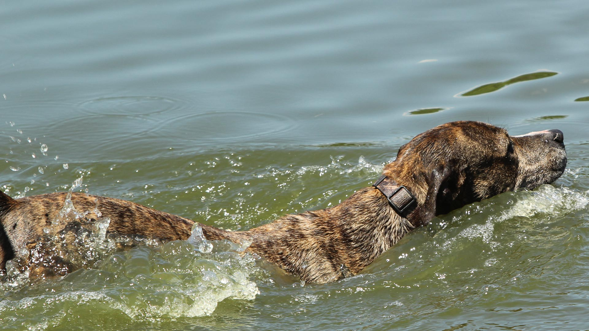 One of our rescue dogs enjoying a swim at a local river in Bradenton.