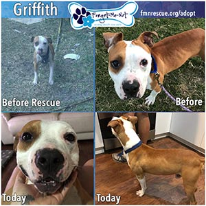 Griffith saved by Forget-Me-Not Inc. and adopted to a new loving home.